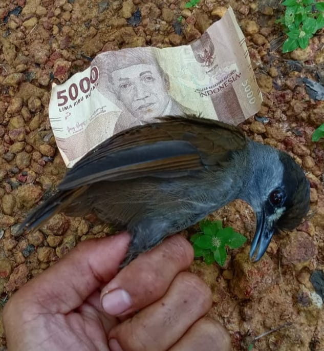 A Black-browed Babbler held up to an Indonesian bill to give a sense of the size of the bird.
