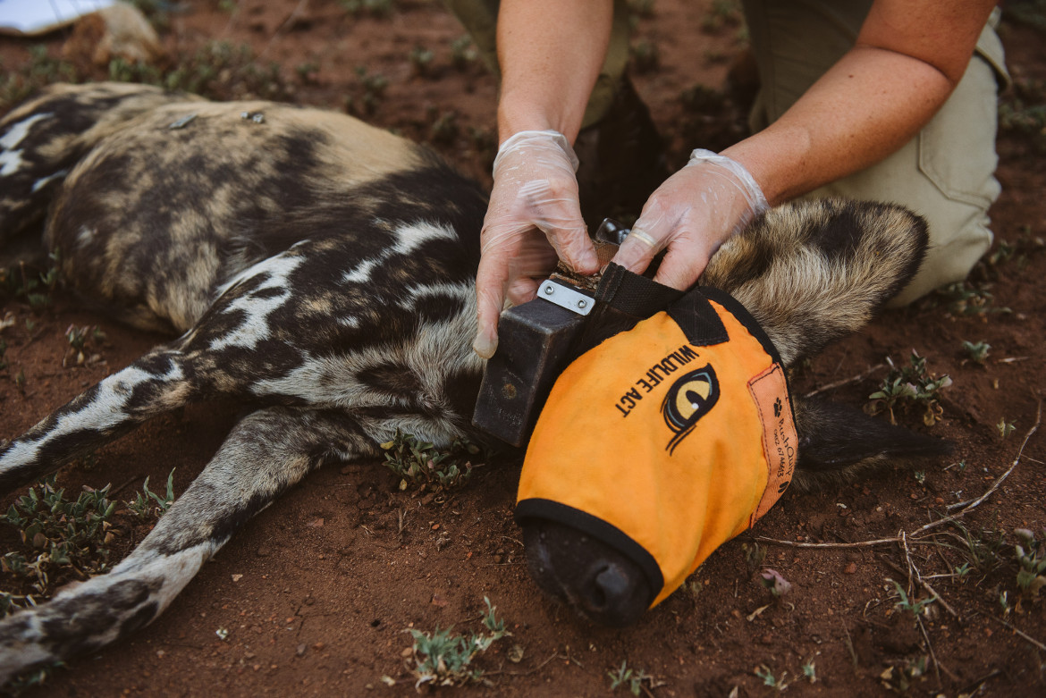 African Wild Dogs to Malawi