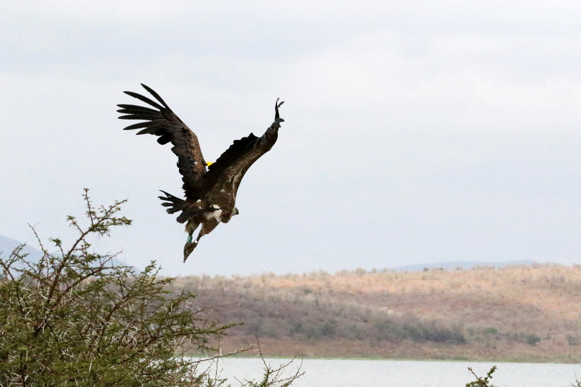 Rehabilitated Vultures Successfully Rewilded